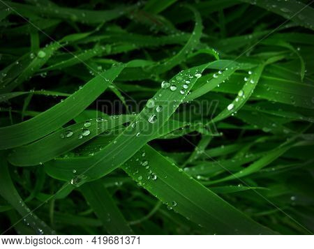 Drops Of Dew Or Rain On Green Grass, Wheat Leaves, Dramatic Light