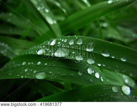 Closeup Water Drops On Dark Green Wheat Leaves