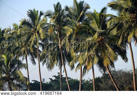 Stock Photo Of Beautiful Tropical Coconut Palm Trees In The Agricultural Land , Picture Captured In