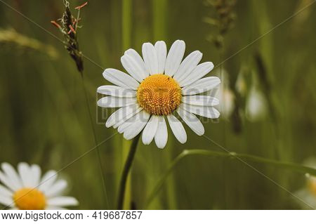 Fairy Flower Of Leucanthemum Vulgare With White Petals And Yellow Pollen Craving For A Bug In Tall G