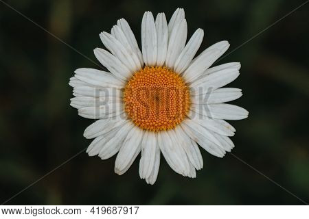 Fairy Flower Of Leucanthemum Vulgare With White Petals And Yellow Pollen Craving For A Beetle. A Ver