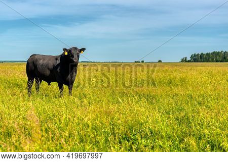 A Black Angus Bull Stands On A Green Grassy Field. Agriculture, Cattle Breeding.