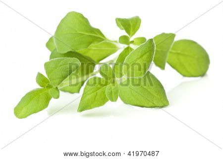Sprig of freshly picked marjoram -?? Origanum Marjorana - isolated on white background