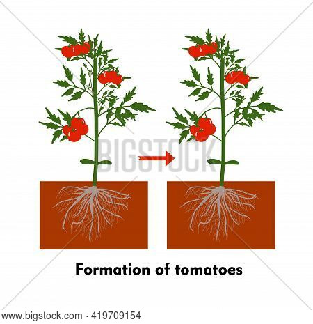 Planting Tomatoes In The Ground. Growing A Tomato. Seedling. Disembarkation In The Greenhouse. Veget