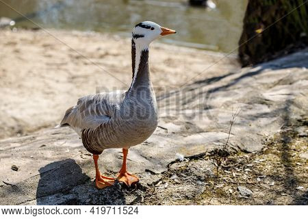 Portrait Of A Goose In A Zoo. Goose Surrounded With A Lake. Wild Goose.