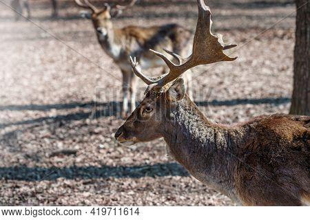 Noble Male Deer In The Zoo. Wild Deers. Majestic Animals.