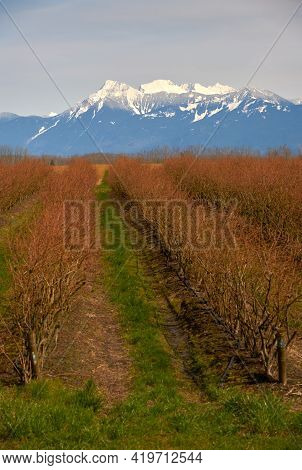 Blueberry Field And Mount Cheam Fraser Valley. A Blueberry Field In The Fraser Valley With Mount Che