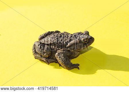 A Freshwater Animal Of The Amphibian Type. Large Common Water Toad On A Yellow Background Side View.