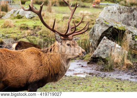 A Red Deer Stag With Antlers, Standing In A Field At The Galloway Forest Red Deer Range, Scotland