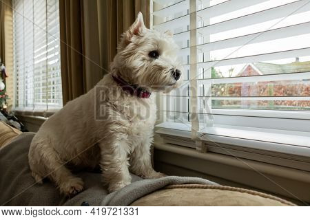 A Cute White West Highland Terrier Dog Sitting On The Top Of A Couch, Looking Out Of A Window