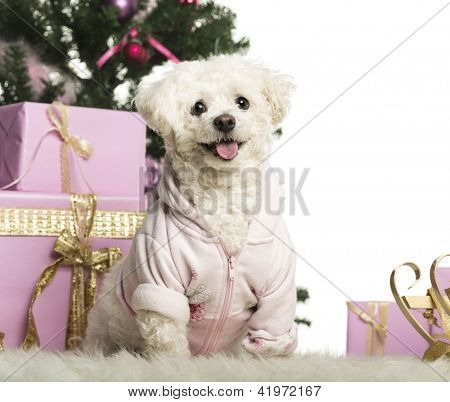 Bichon Fris���© sitting in front of Christmas decorations against white background