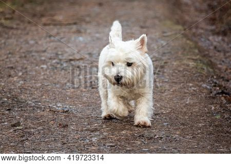 A White West Highland Terrier Dog Walking Along A Woodland Gravel Path In Winter