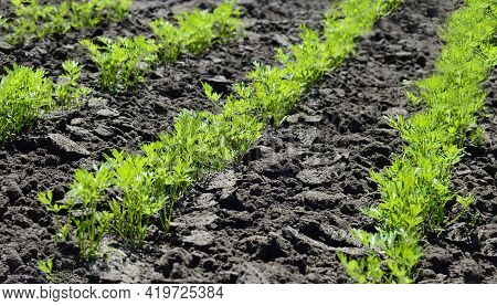 Young Carrot Seedlings In The Garden In Spring. Concept Of Ecology, Cultivation, Agriculture.