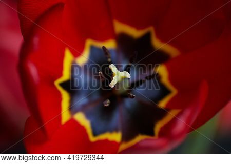 Macro Pestle And Stamens In Tulip Flower Head With Selective Focus