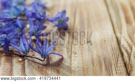 Blue Spring Early Flowers On A Natural Wooden Background In Dewdrops.