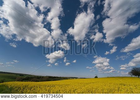 Blooming Canola Field. Bright Yellow Rapeseed Oil. Flowering Rapeseed. With Blue Sky And Clouds