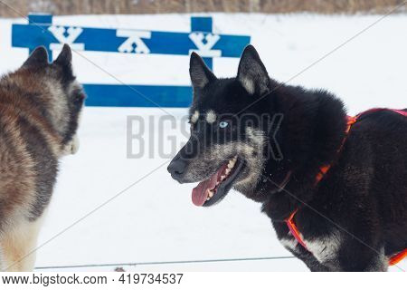 Black Husky Dog With One Blue Eye And The Other Brown Eye, Multicolored Dog Eyes.