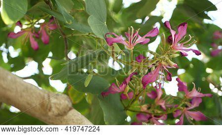 Purple Bauhinia Orchid Tree Flower Blossom, California Usa. Violet Exotic Tropical Bloom, Jungle Rai