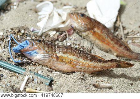 Comber Perch Fish Dead Eating Plastic Rubber Disposal Glove Trash On A Debris Contaminated Sea Habit