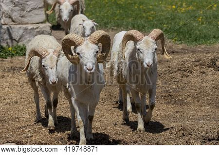 The Dall Sheep (ovis Dalli), Thinhorn Sheep Or Dall's Sheep, Is A Wild Sheep Native To Northwestern