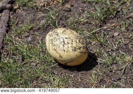 The Greater Or American Rhea (rhea Americana), Egg