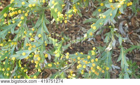 Acacia Glaucoptera Yellow Flowers, California Usa. Australian Endemic Flat Or Clay Wattle, Unusual U
