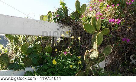 Cactus Succulent Plant, California Usa. Desert Flora, Arid Climate Natural Flower, Botanical Close U