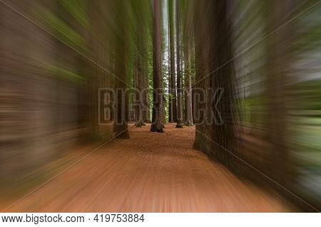 Redwood Grove In Hamurana Springs In Motion Blur, Rotorua New Zealand.