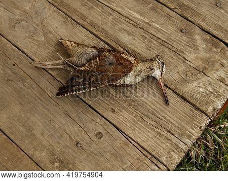 .killed Wild Bird In Motley Plumage Lies On Wooden Boards.