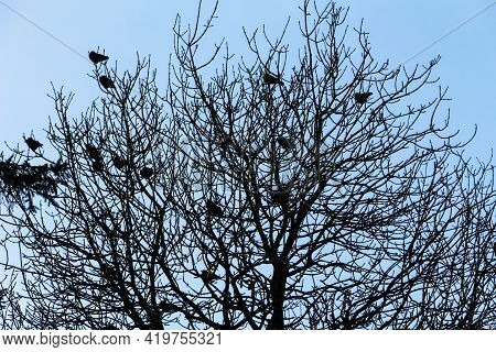 Flock Of Carrion Crows Sitting Perched In A Leafless Tree In Winter, Contrasting Against A Blue Sky