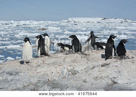 Adelie Penguin Colony On The Rocky Antarctic Island Summer Day.