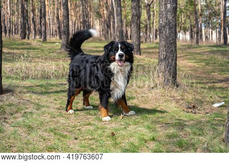Adult Male Bernese Mountain Dog On The Fresh Green Grass Background