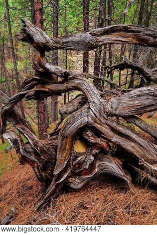 Log Formation Entanglement - A Forest Scene Along Fr1105 On The South Side Of Black Butte - Northwes