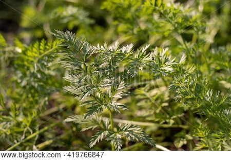 Macro Of Organic Carrot Leaves In Cultivated In Farmland In Horizontal Orientation