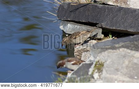The Sparrow Bends Down To Get Water From The Lake To Get Drunk And Quench Its Thirst