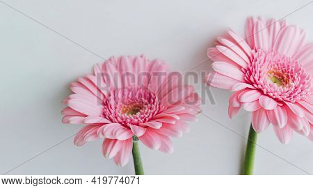 Light pink Gerbera daisy flowers on gray background