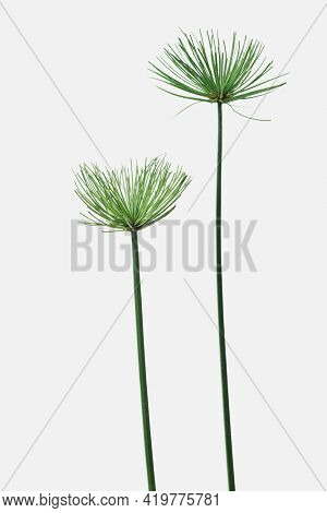 Papyrus plant on an off white background