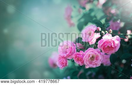 Beautiful Nature Background With Bushes Of Vintage Rose Flowers Of Pink Color In Summer Garden In Su