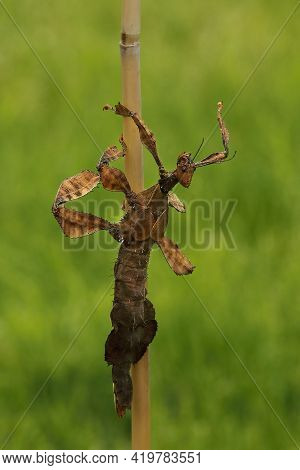The Giant Prickly Stick Insect (extatosoma Tiaratum) On The Bamboo. Green Background, Evening Sun. B