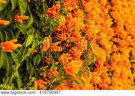 Orange Flowers Hanging Over The Garden Fence Wall In Spain. Pyrostegia Venusta. Nature, Blooming Bac