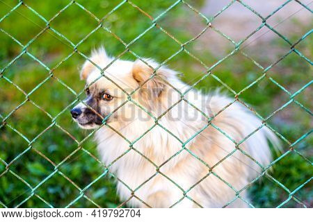 Defocus Pekingese Dog On The Grass Looking Through Metal Fence. Portrait Of A Dog Behind An Iron Fen