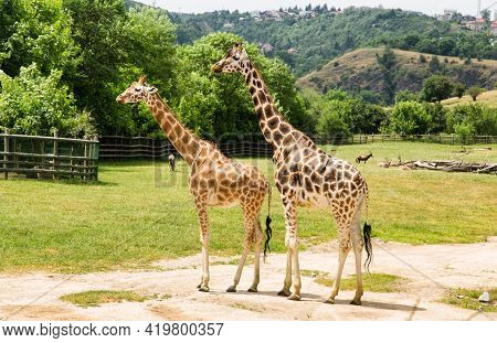 Two Giraffes At An Open Range Zoo. Zoo Animals.