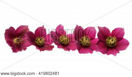 Burgundy Hellebore Flower Isolated On White Background