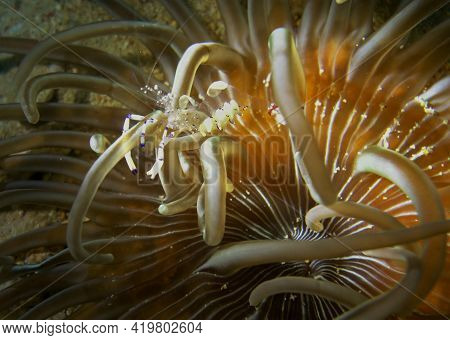 Tiny See Through Crustacean Hiding In An Anemone