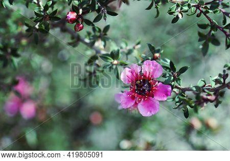 Beautiful Australian Native Pink Tea Tree Flower, Leptospermum Scoparium, Family Myrtaceae, Growing