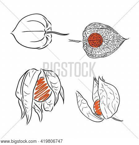 Physalis Autotraced Vector Sketch, Greyscale Physalis Vector Sketch