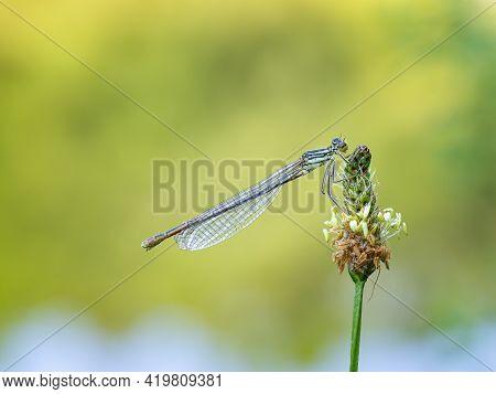 White-legged Damselfly (platycnemis Pennipes) Sitting On Blooming Plantago Lanceolata Plant