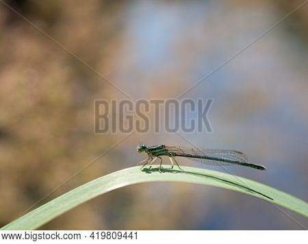 White-legged Damselfly (platycnemis Pennipes) Male Sitting On Green Blade Of Grass