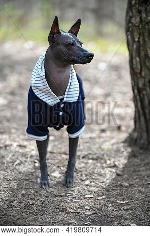 Xoloitzcuintle (mexican Hairless Dog) Wearing Blue Jacket Portrait  Standing On Forest Background