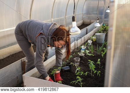 A Red-haired Woman Is Planting Seedlings In A Greenhouse. The Girl Is Planting Tomatoes In The Green